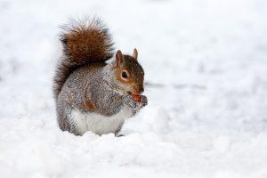 rongeur écureuil