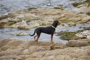 Collier anti-fugue, le meilleur moyen pour contrôler le déplacement de votre chien
