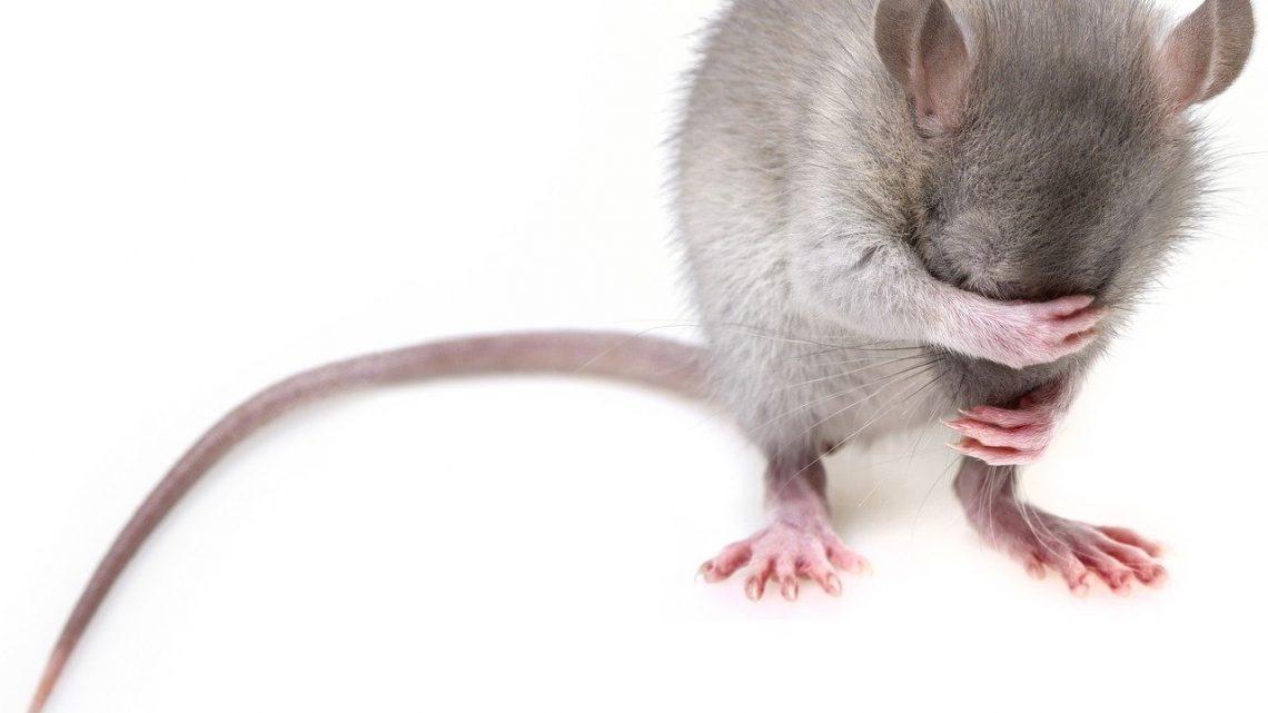 Comprendre la reproduction des rats et des souris